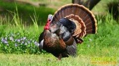 火鸡养殖前景分析:养火鸡赚钱吗,怎样养火鸡?