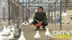 山东巨野鸽子王郭良亚的养鸽致富经