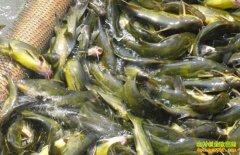 黄颡鱼池塘生态高效养殖技术