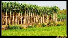 [聚焦三农]广西贵港千亩白玉甘蔗遭遇卖难