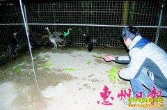 广东惠东陈思红养殖孔雀500只年赚10万