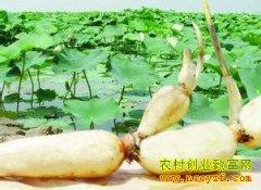 河北涿州300亩莲藕亩收入达万元以上