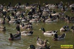 [生财有道]湖南陈燕养殖洞庭野鸭年赚300万元