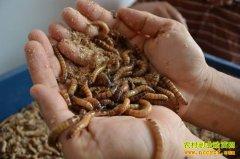 养殖黄粉虫赚钱吗:黄粉虫养殖前景分析