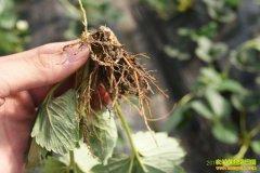 农博士在行动:怎样防治草莓根腐病