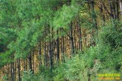 今年种什么树最赚钱:国内木材需求大 用材树种前景好