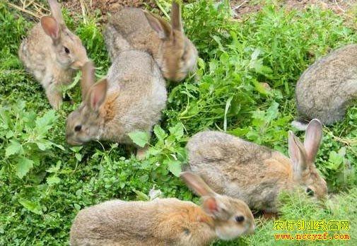 养殖致富项目-野兔养殖