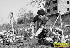 重庆石柱陈以乾种植莲藕亩纯收入7000元