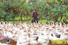 果园养鹅:果树下养鹅效益好