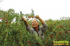 内蒙古乌拉特前旗先锋镇种植枸杞托起大梦想