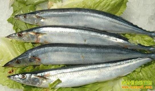 长江三鲜 身材小的刀鱼卖价高