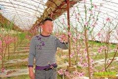 种植致富榜样:大棚种桃树一亩能赚八九千