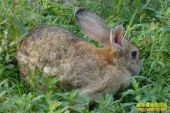 哪些兔子品种适合野外放养?