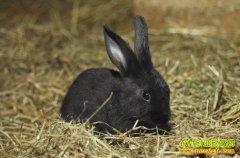 [每日农经]养什么兔子最赚钱:赚钱的黑兔