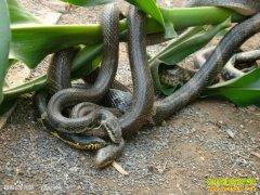 养蛇赚钱吗,养蛇前景怎样:养蛇成本与利润分析