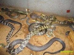 养殖1000条大王蛇需要多少成本?