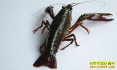 [聚焦三农]小龙虾全身发黑是怎么回事?