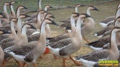 养大雁赚钱吗:大雁的养殖效益分析