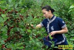 汪泽林辞掉工作创业种植桑葚年赚40万