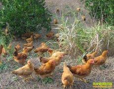 养殖致富榜样:易明清散养土鸡 吃虫喝泉水效益高