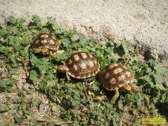 如何养殖幼龟:幼龟的养殖技术