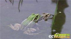 邓兴龙养殖青蛙呱呱叫的财富(邓兴龙联系方式)