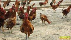 养一万只鸡利润:马建功养一万只鸡年赚百万