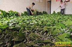 山西阳城:养蚕种蘑菇 一棚两用致富好赚钱