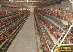 养鸡致富榜样:王荆师开超市养蛋鸡好赚钱