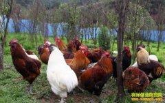[生财有道]养殖无尾的瓢鸡有商机