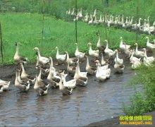 刘晓琳养500只鹅三个月利润七千多元一只鹅赚16元