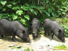 [生财有道]芭蕉树下生态养殖冬瓜猪好赚钱