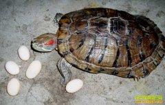 怎样养龟:乌龟的养殖技术要点