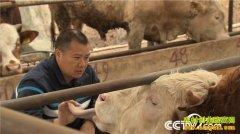 四川青川杨飞:牛人回乡养牛 牛粪种重楼深山里掘金