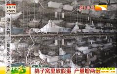 养鸽子技巧:鸽子窝里放假蛋 鸽子产量增两倍