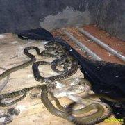 海南儋州张壮帮养蛇10万条水律蛇年产值3000万