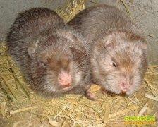 [每日农经]鼠鼠生机:竹鼠、麝香鼠和松鼠养殖