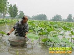 池塘铺上塑料布莲藕丰产又好挖 亩产莲藕6000多斤
