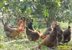 如何在果园散养土鸡?