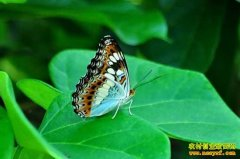 [每日农经]带翅膀的财富:蝴蝶、大雁、瑶鸡养殖