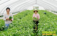 """内蒙古""""蔬菜哥""""丛军种植大棚蔬菜带富众乡亲"""