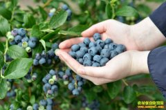 种蓝莓赚钱吗:贵族风光不见 种植蓝莓须理性