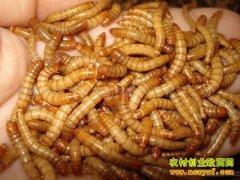 黄粉虫怎样养殖:黄粉虫的盆养技术要点
