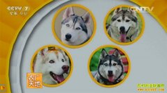 [农广天地]小哈传奇-哈士奇犬驯养技术视频