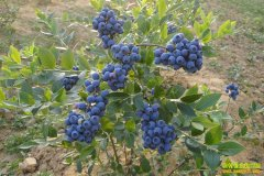 种蓝莓赚钱:安徽庐江蓝莓成农民致富好项目