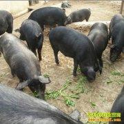 甘肃礼县大学生返乡创业养殖黑土猪好致富