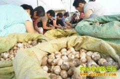 山东阳谷种植闷棚蘑菇亩均纯收入2万多元