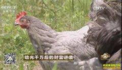 四川广元汪志聪养殖广元灰鸡创业致富