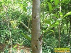 湖南可以种植沉香树吗:沉香树的种植条件