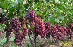 四川种葡萄赚钱吗:葡萄卖得火 葡萄还能否扩种